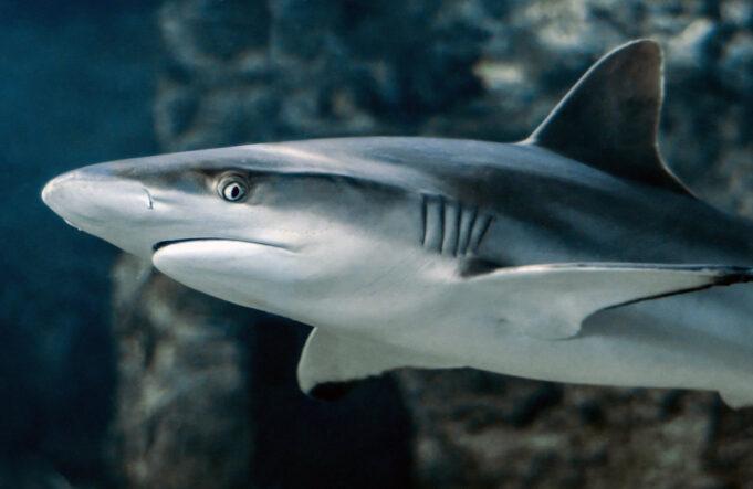 zapljena peraja morskih pasa - ekologija