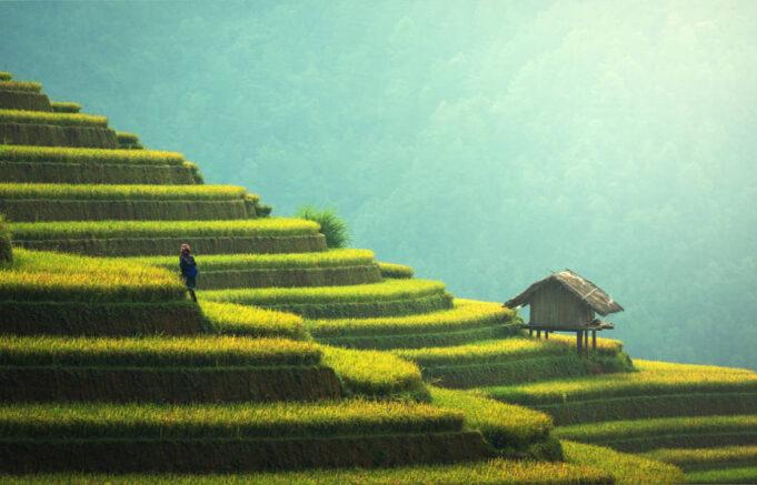 riža hrani pola svijeta uzgoj riže
